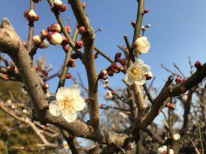 梅の花20170216